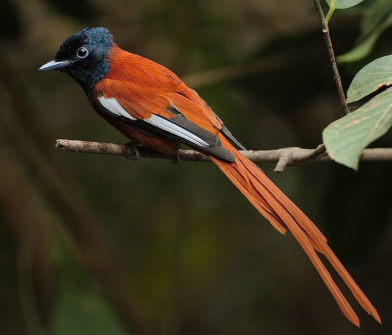 Paradise flycatcher - Birds Watching Tour Dudhwa