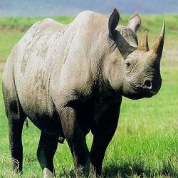The Indian Rhinoceros's Secret - top 5 fact about Rhinoceros